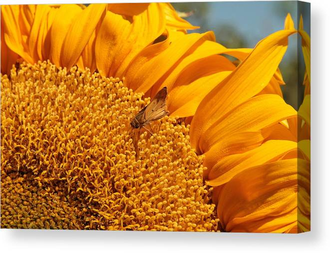 Sunflower Canvas Print featuring the photograph Sunflower by Richard Balison