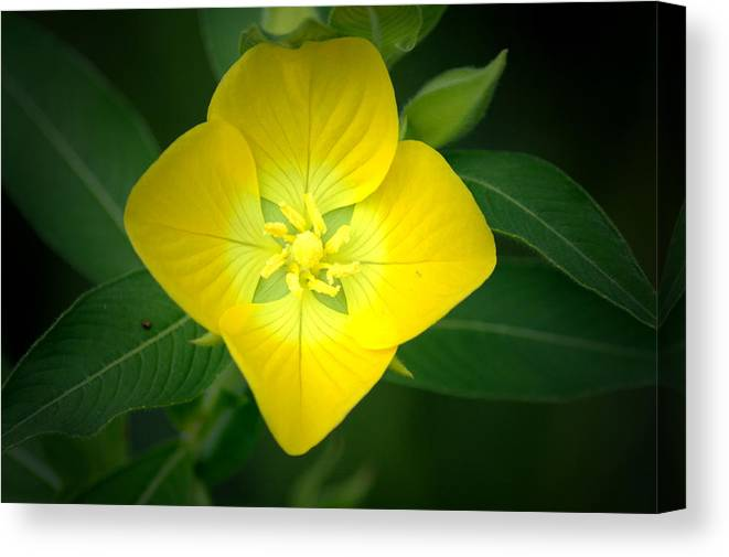 Flower Canvas Print featuring the photograph Symmetry by David Weeks