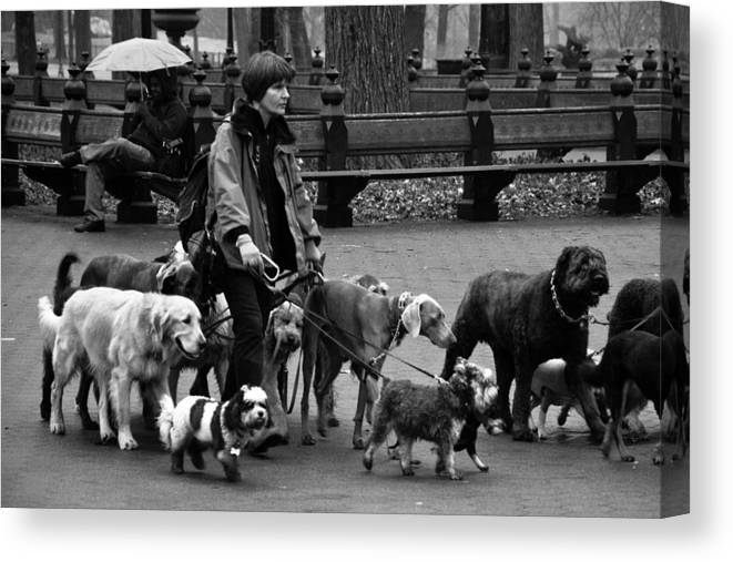 Dogs Canvas Print featuring the photograph The Dog Walker by Heidi Reyher