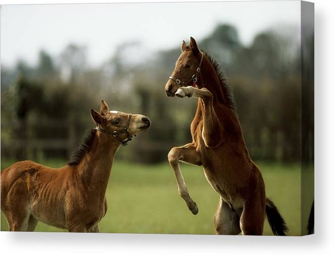 Bridle Canvas Print featuring the photograph Thoroughbred Foals Playing by The Irish Image Collection