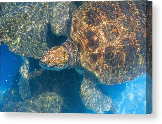 No People Canvas Print featuring the photograph Turtle Underwater,high Angle View by Axiom Photographic