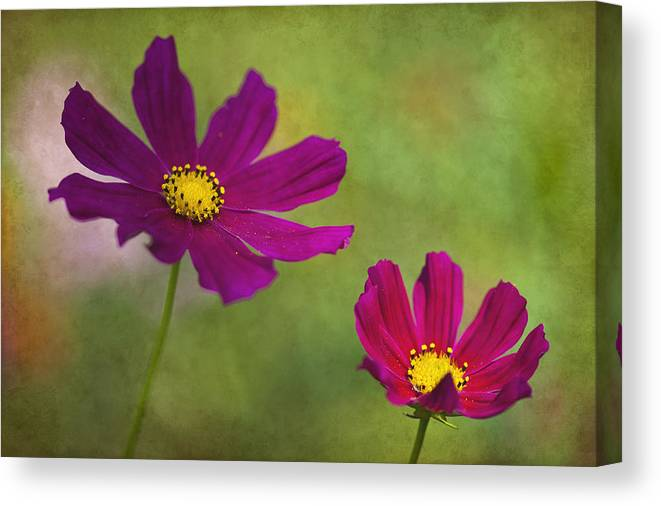 Flower Canvas Print featuring the photograph Cosmos by Amy Jackson