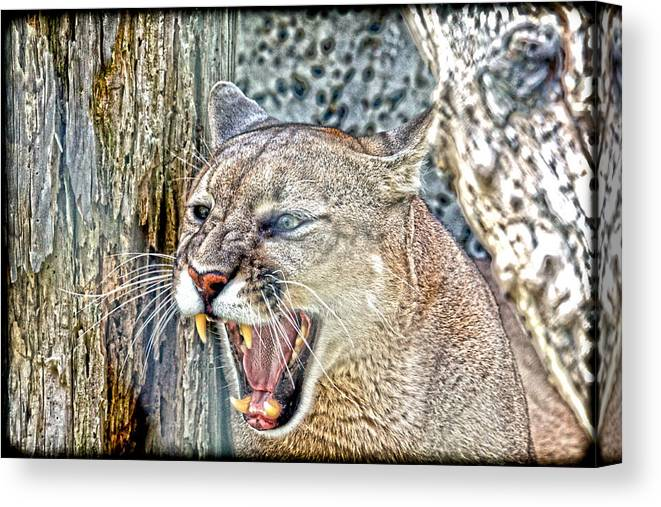 Cougar Canvas Print featuring the photograph Western Cougar by Steve McKinzie