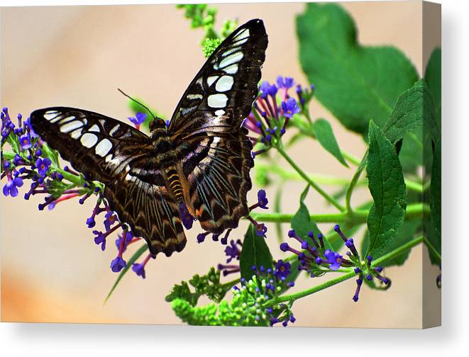 Butterfly Canvas Print featuring the photograph Wing Of Beauty by Cheryl Cencich