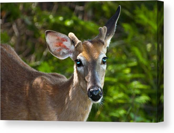 Deer Canvas Print featuring the photograph Young Buck 2 by Glenn Gordon