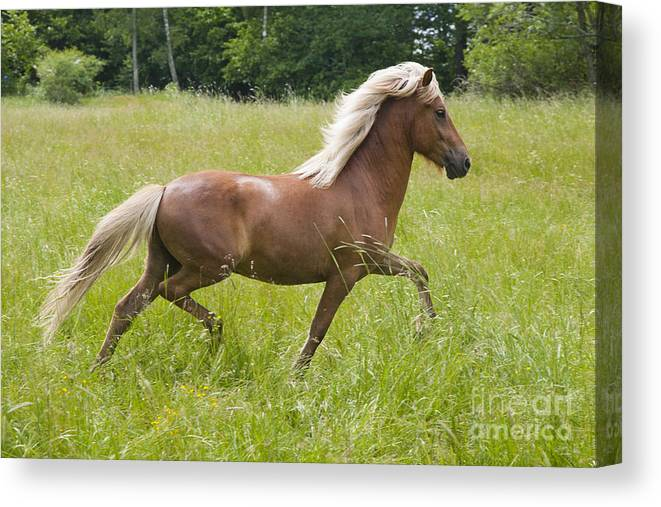 Beautiful Canvas Print featuring the photograph Young Icelandic Horse In A Trot by Kathleen Smith
