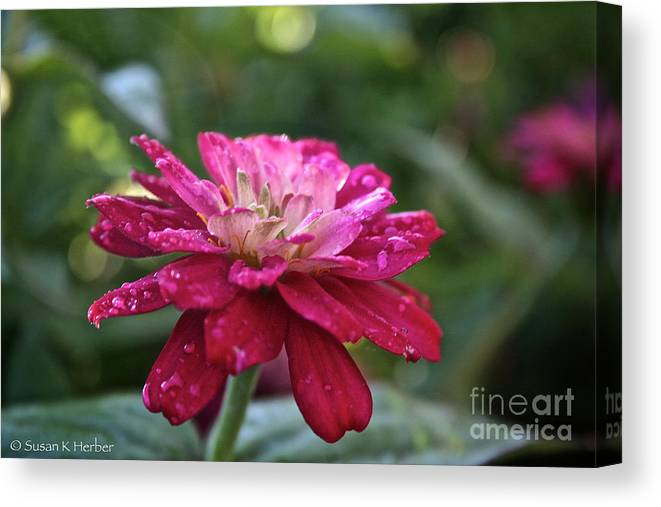 Flower Canvas Print featuring the photograph Zinnia Quenched by Susan Herber