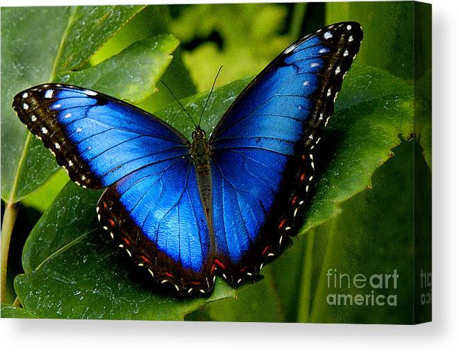 Butterfly Canvas Print featuring the photograph Blue Morpho by Neil Doren