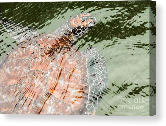 Chelonii Canvas Print featuring the photograph Green Sea Turtle by Jacques Jacobsz