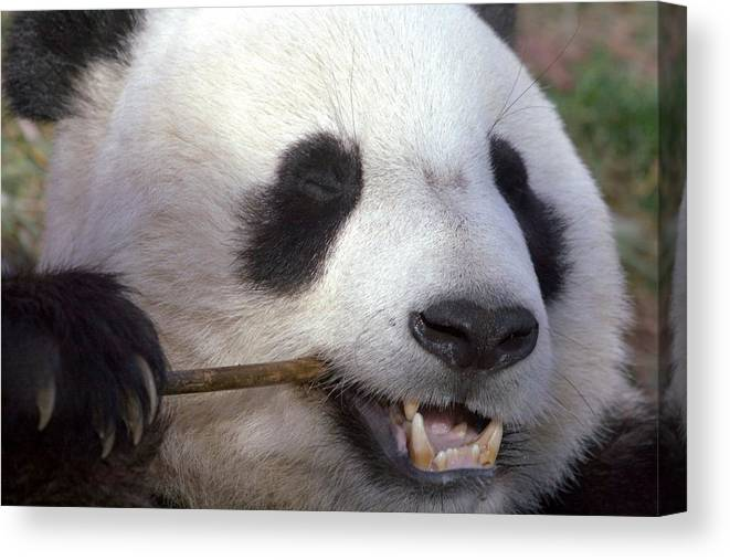 Panda Canvas Print featuring the photograph Happiness by Mitch Cat