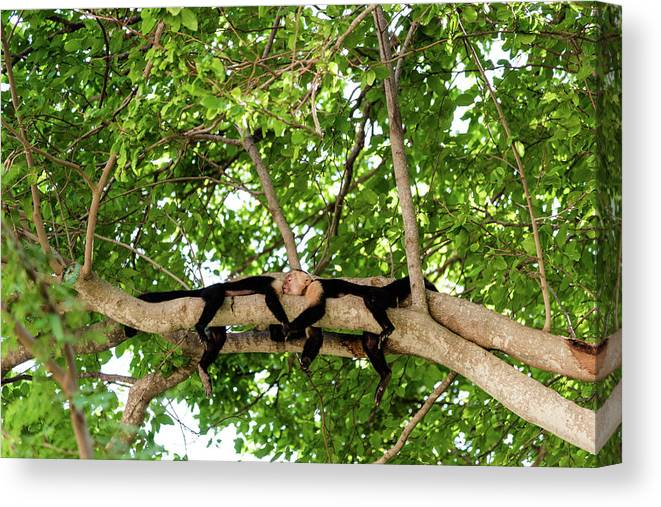 Wildlife Canvas Print featuring the photograph Monkey Love 1 by Michael Santos