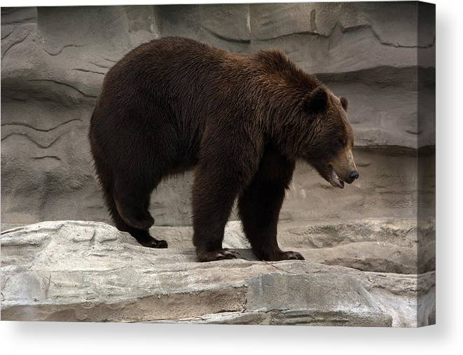 Bear Canvas Print featuring the photograph Moving by Linda Kerkau