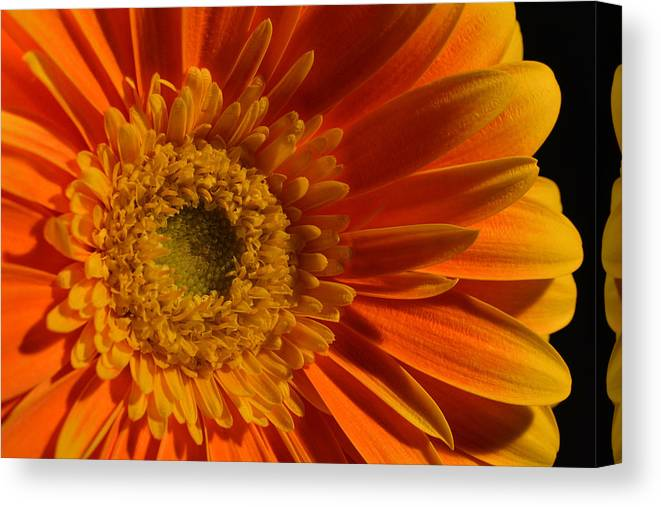 Gerber Daisy Canvas Print featuring the photograph Orange Gerbera Daisy by Peterson Photography