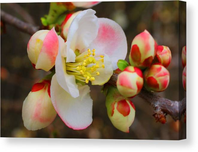 Quince Canvas Print featuring the photograph Quince Toyo-nishiki by Kathryn Meyer