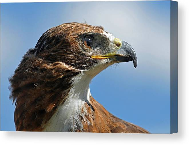Red-tailed Hawk Canvas Print featuring the photograph Red-tailed Hawk by Alan Lenk