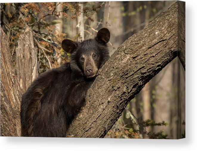 Bears Canvas Print featuring the photograph Resting Bear by Mary Jo Cox