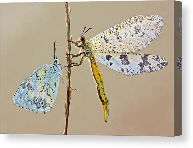 Butterfly Canvas Print featuring the photograph Untitled by S. Amer
