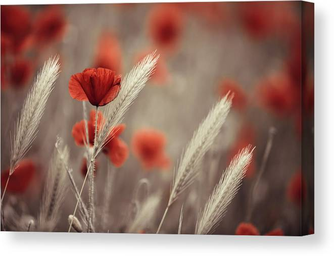 Poppy Canvas Print featuring the photograph Summer Poppy Meadow by Nailia Schwarz