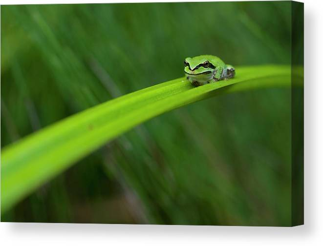 Pacific Canvas Print featuring the photograph Pacific Tree Frog by Alasdair Turner