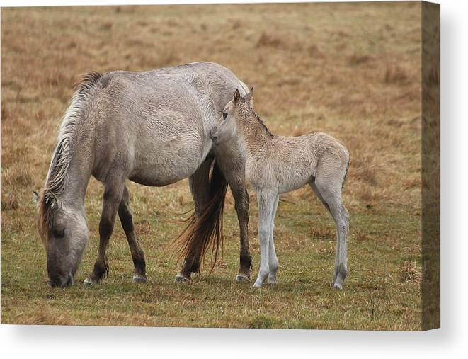 Horses Canvas Print featuring the photograph Horses by FL collection