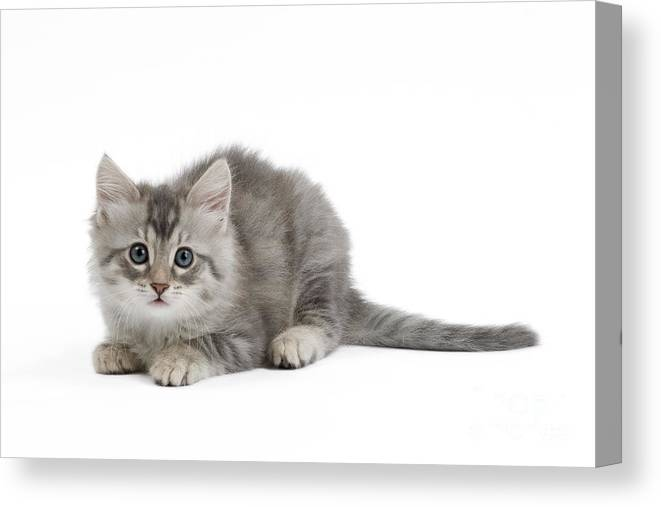 2502f4ecd7 Cat Canvas Print featuring the photograph Turkish Angora Kitten by Jean-Michel  Labat