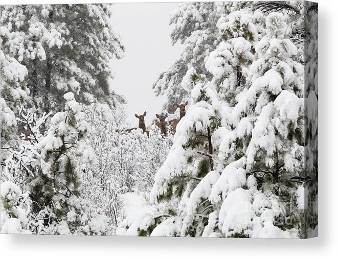 Elk Canvas Print featuring the photograph Elk In Deep Snow In The Pike National Forest by Steve Krull