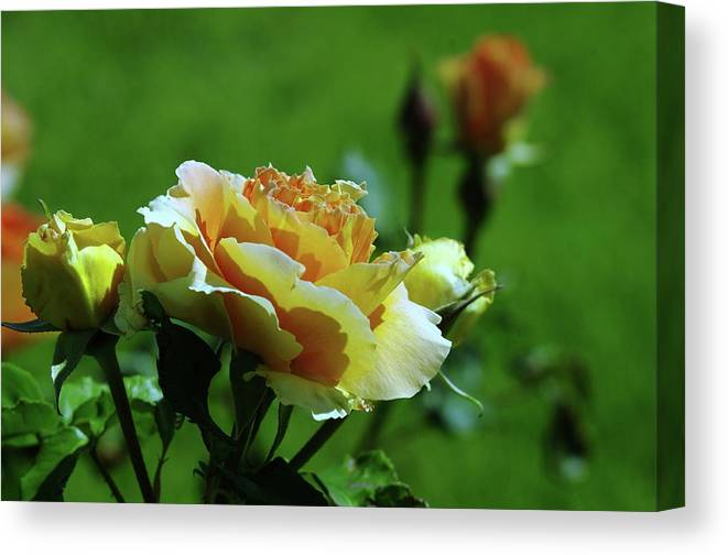 Roses Canvas Print featuring the photograph A Benton City Rose by Jeff Swan