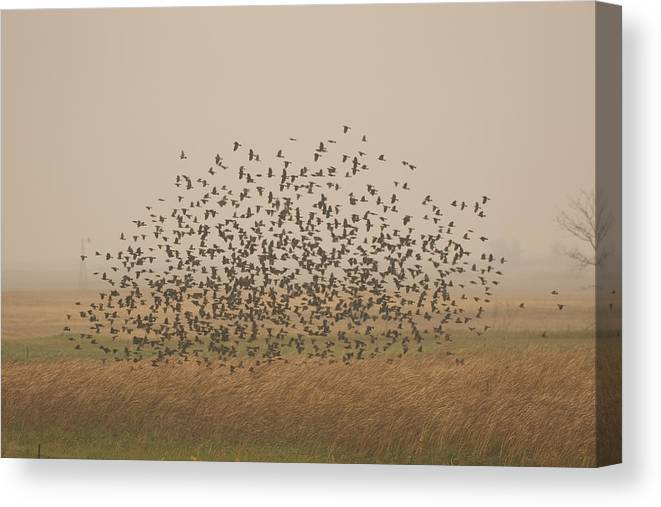 Nobody Canvas Print featuring the photograph A Flock Of Birds Swarming A Field by Phil Schermeister