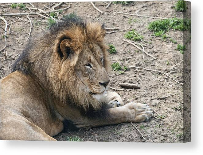 Lion Canvas Print featuring the photograph African Lion by Tom Mc Nemar