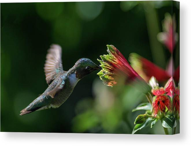 Parrot Lily Canvas Print featuring the photograph Afternoon Sip by Cindi Poole
