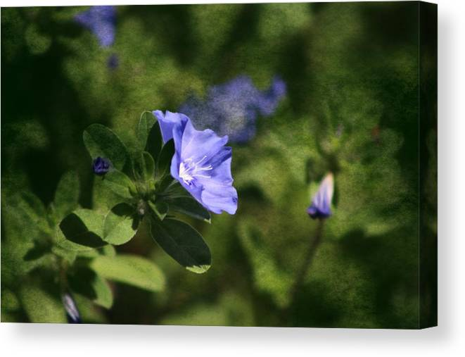 Cornflower Blue Canvas Print featuring the photograph Ageless Beauty In Cornflower Blue by Colleen Cornelius