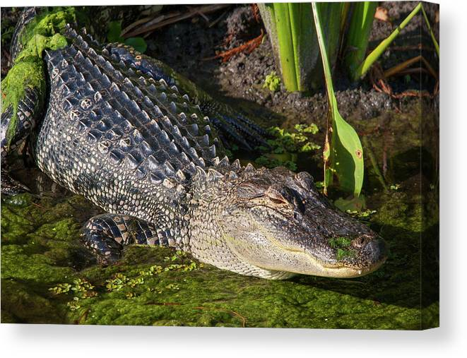 Gator Canvas Print featuring the photograph Algae Gator 2 by Arthur Dodd