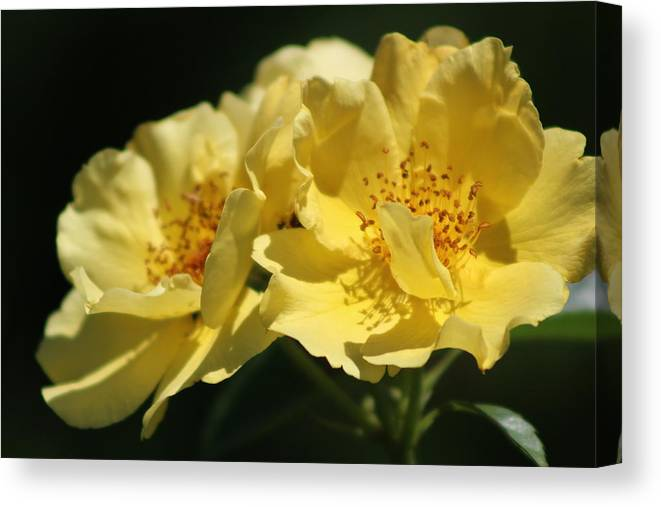 Amber Yellow Country Rose Canvas Print