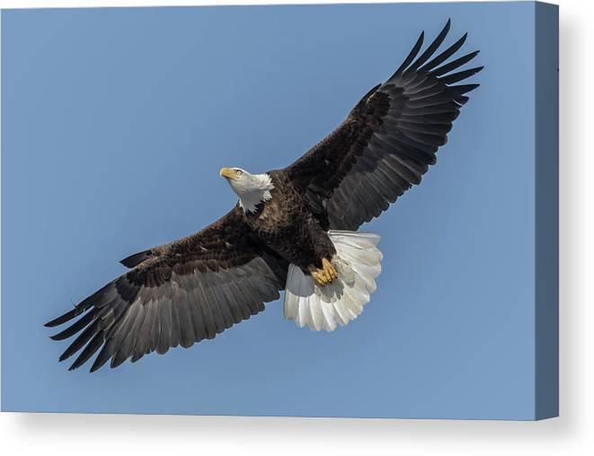 American Bald Eagle Canvas Print featuring the photograph American Bald Eagle 2017-18 by Thomas Young