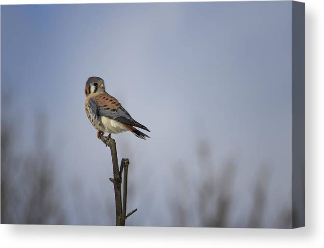 Gary Hall Canvas Print featuring the photograph American Kestrel by Gary Hall
