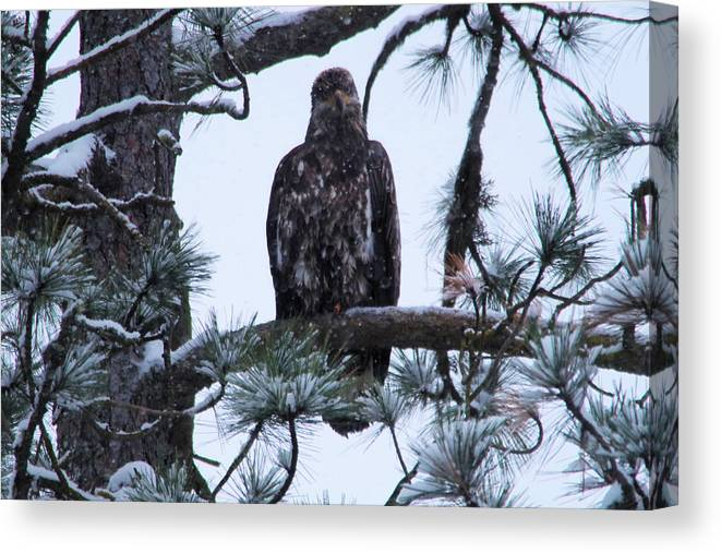 Bald Eagle Canvas Print featuring the photograph An Eagle Gazing Through Snowfall by Jeff Swan