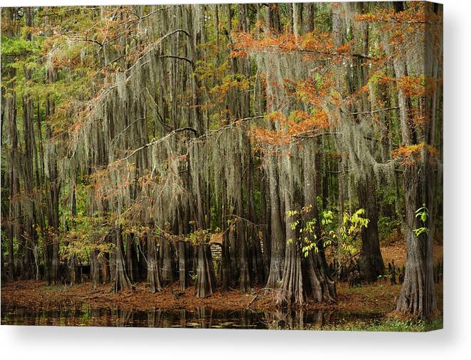 Cypress Trees Canvas Print featuring the photograph Ancient Cypress Forest by Iris Greenwell