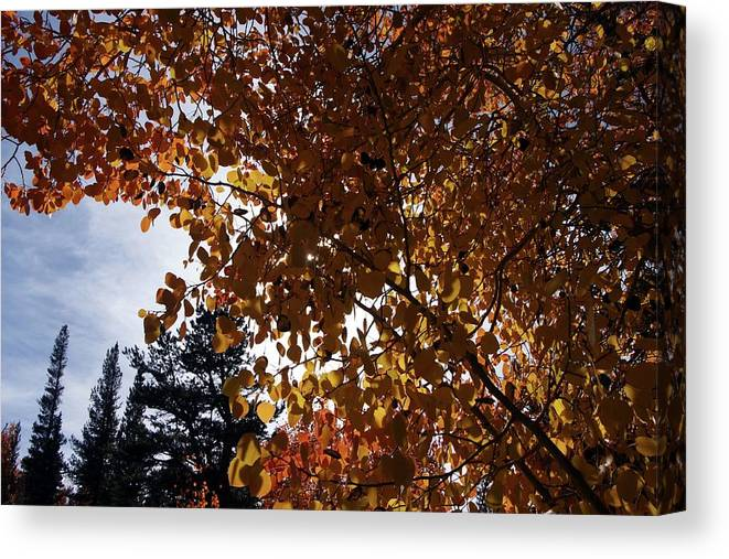 Aspens Canvas Print featuring the photograph Aspen Shade by Michael Courtney