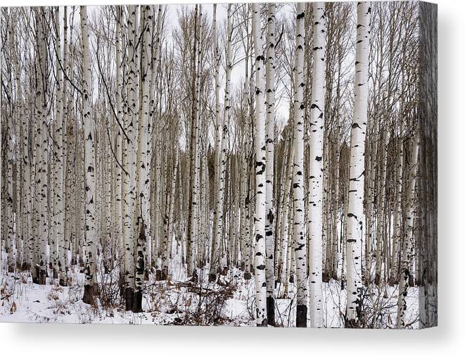 Aspen Canvas Print featuring the photograph Aspens In Winter - Colorado by Brian Harig