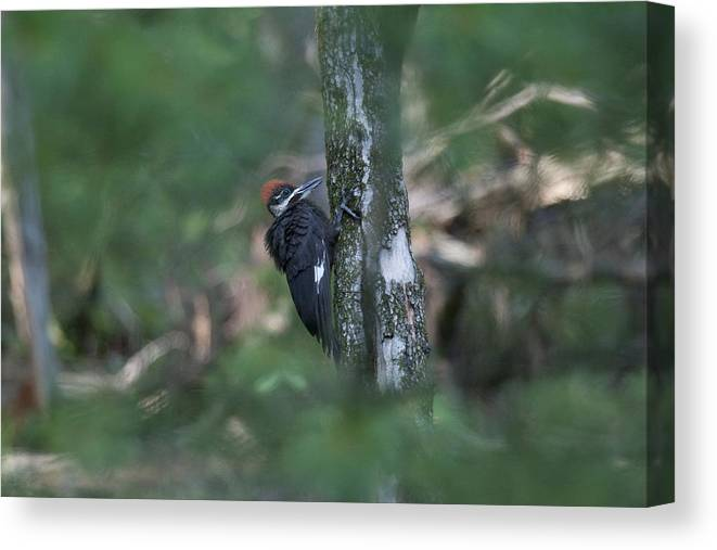 Pileated Woodpecker Canvas Print featuring the photograph Babe In The Woods by Tina B Hamilton