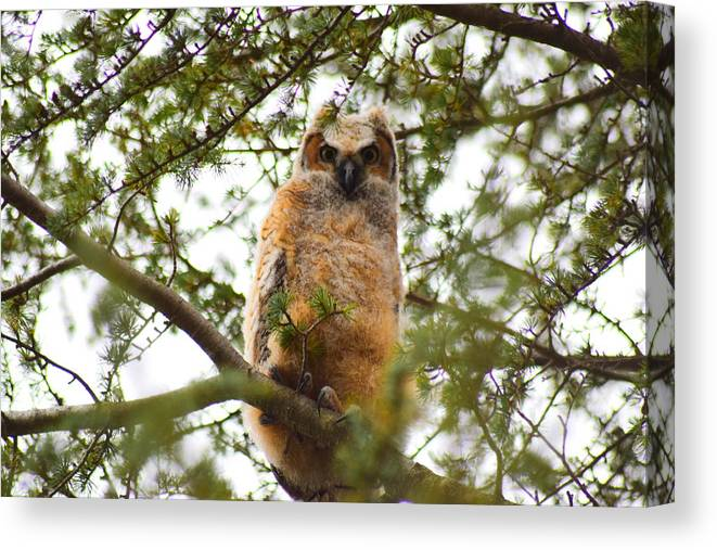 Owl Canvas Print featuring the photograph Baby Great Horned Owl by Cheryl Braley