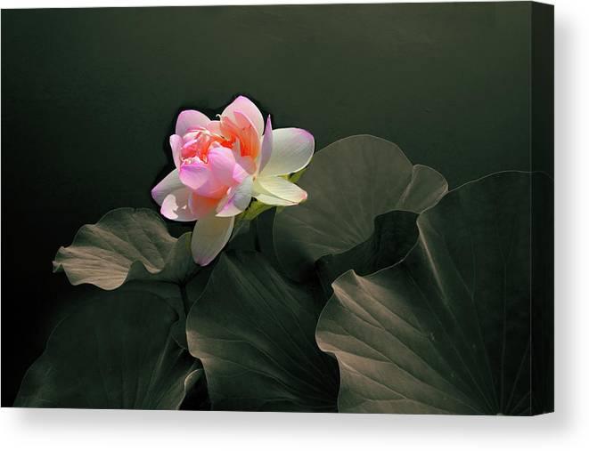 Backlit Lotus Canvas Print