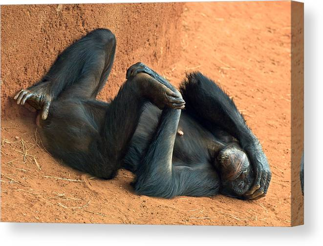 Chimpanzee Canvas Print featuring the photograph Banana Punch by Marvin Rivera