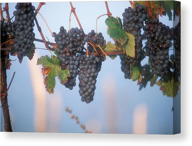 Italy Canvas Print featuring the photograph Barbera Grapes Ready For Harvest South by Michael S. Lewis