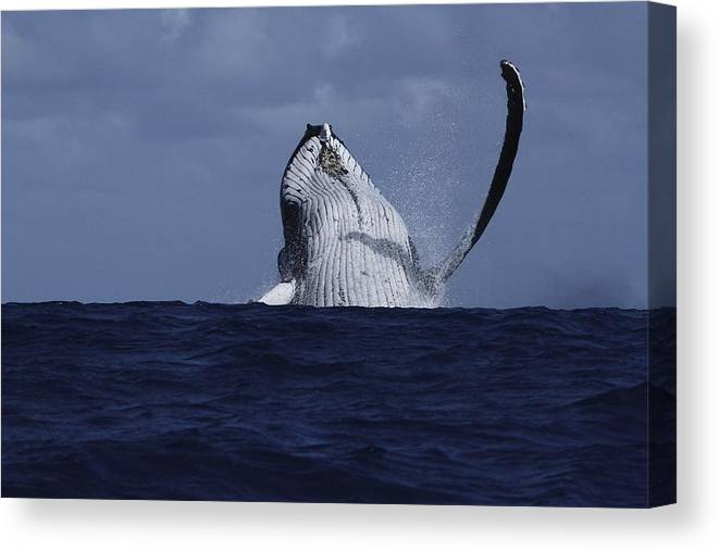 Humpback Whale Canvas Print featuring the photograph Beastie Waving by Nan Hauser