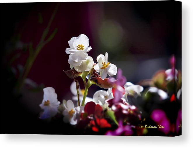 Begonia Canvas Print featuring the photograph Beautiful Begonia by Tom Buchanan