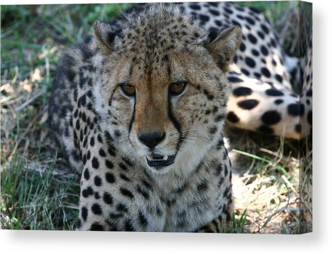South Africa Canvas Print featuring the photograph Beauty by Andrei Fried
