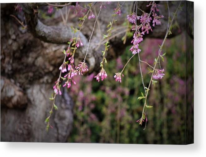 Blossoms Canvas Print featuring the photograph Beginning Of Bloomination by Lkb Art And Photography