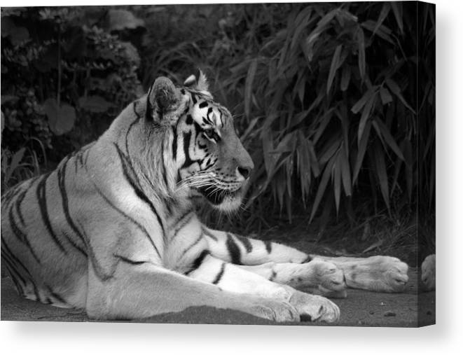 Zoo Canvas Print featuring the photograph Bengal Tiger by Sonja Anderson
