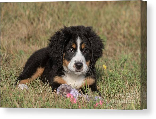 Dog Canvas Print featuring the photograph Bernese Mountain Dog Puppy by Russell Myrman